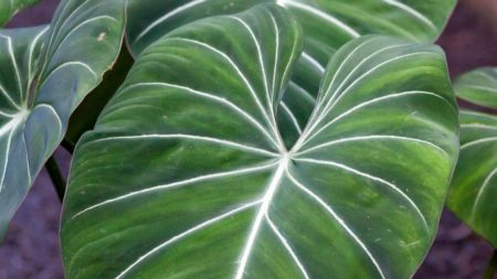 Philodendron, Tribus philodendreae