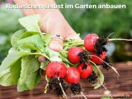 Radieschen als Gemüse selbst im Garten anbauen