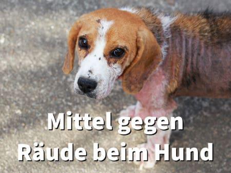 Wirksame Mittel gegen Räude beim Hund: Was hilft gegen Milben?