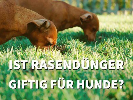 Ist Rasendünger für Hunde giftig? Und wie Ihr Hund trotzdem auf einem grünen Rasen spielen kann