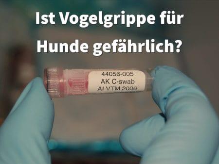Ist Vogelgrippe für Hunde gefährlich?