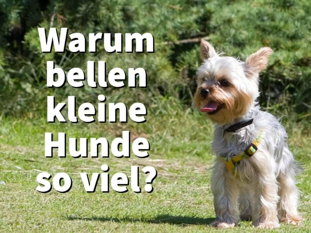 Warum bellen kleine Hunde so viel? Stimmt das Klischee des kläffenden Chihuahuas?