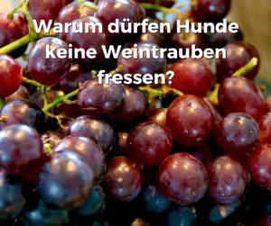 Warum dürfen Hunde keine Weintrauben fressen?