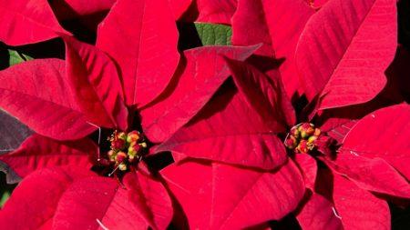 Weihnachtsstern ist für Hunde giftige Pflanze