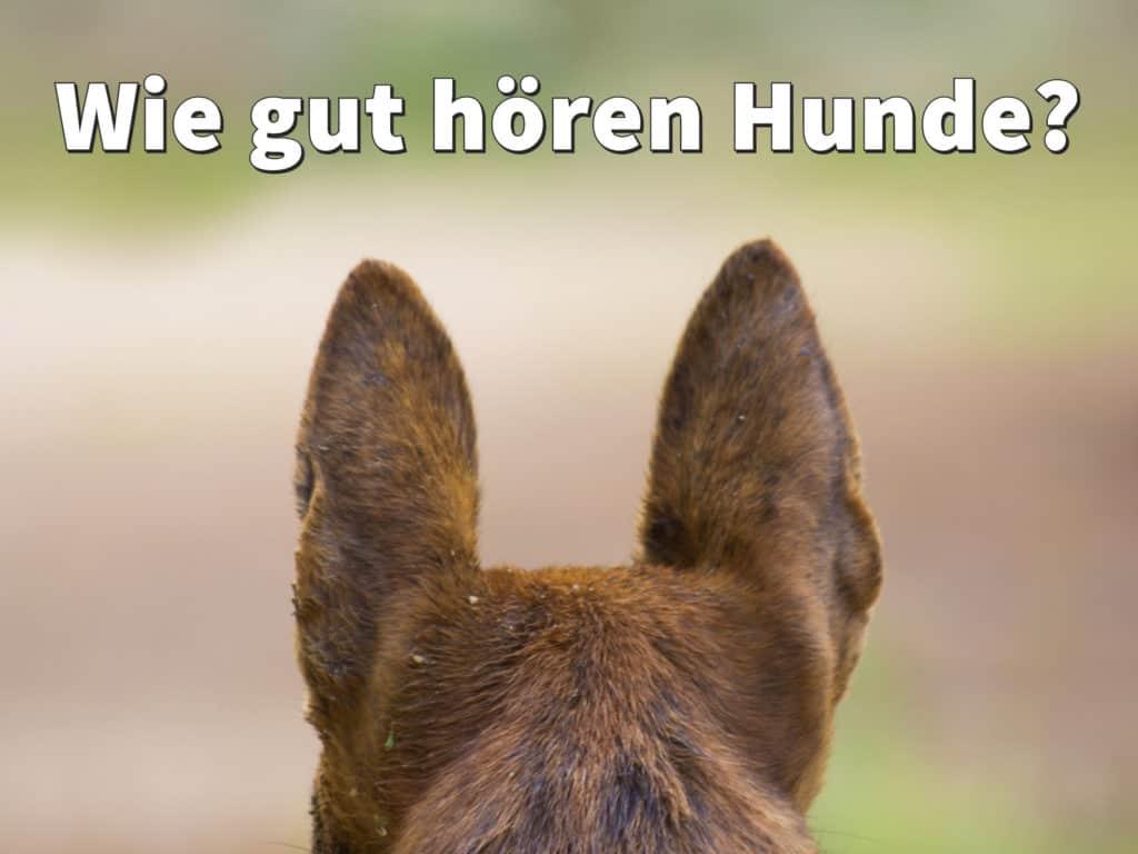 Hundegehör: Wie gut hören Hunde?