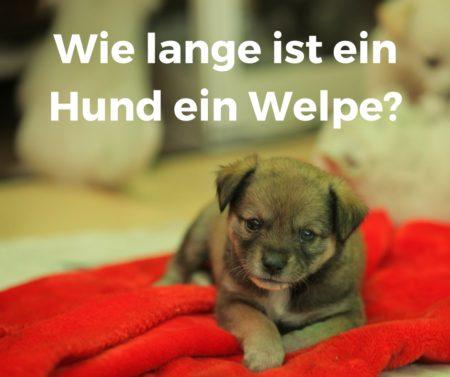 Wie lange gilt ein Hund als ein Welpe?