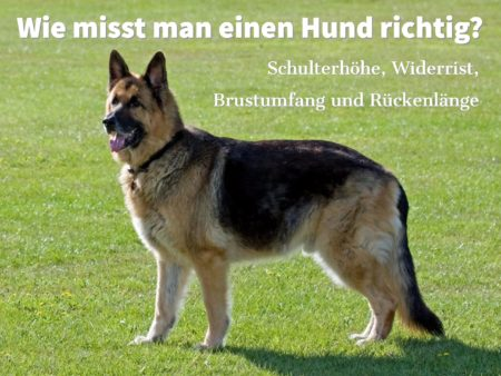 Wie misst man einen Hund richtig? Schulterhöhe, Widerrist, Brustumfang und Rückenlänge