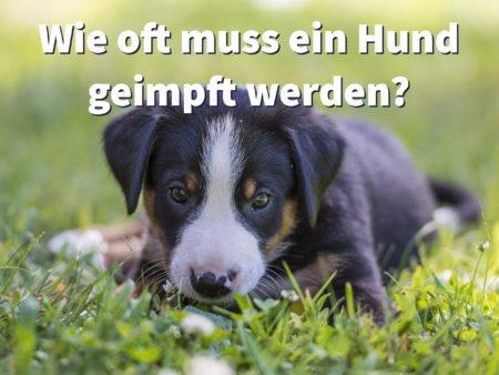 Wie oft muss ein Hund geimpft werden?