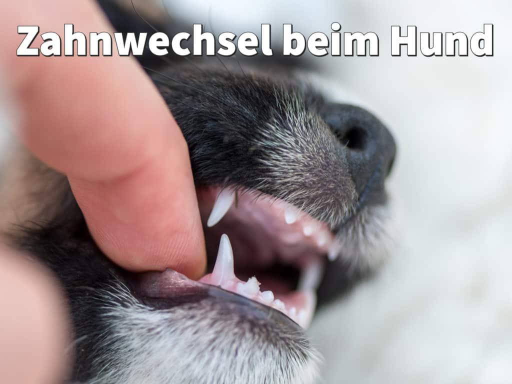 Zahnwechsel beim Hund: Symptome und Hilfe für Ihren Welpen